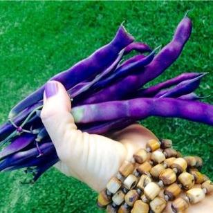 Cosse Violette Purple Beans