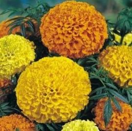 Giant Crackerjack Marigold Flowers