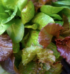 Mixed Cutting Lettuces