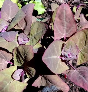 Purple Orach Spinach